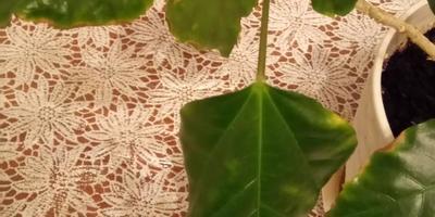 Опадают листья у гибискуса, новые не растут. Что с ним?