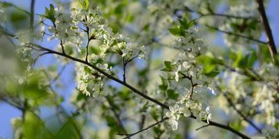 Галерея фотоизбушки: один раз в год сады цветут