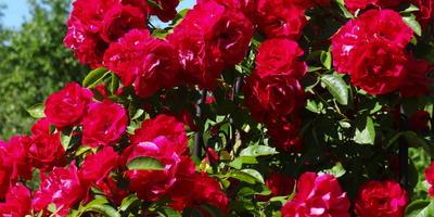 "Прекрасная роза ""Flammentanz"""