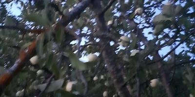 Поломалась ветка на плодоносящей яблоне. Как это отразится на яблоне?