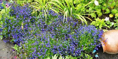 """Мой ручей из цветов. Лобелия """"Сине-белый фонтан"""""""