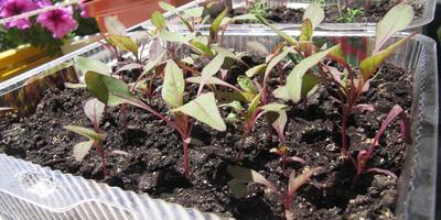Как лучше поступить с рассадой амаранта?