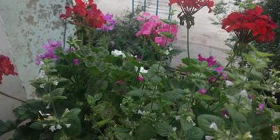 Из-за чего цветок герани раскрывается не полностью?