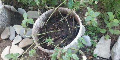 Как выращивать циннии?
