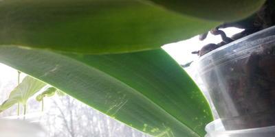 Что за вредитель на орхидее и как с ним бороться?