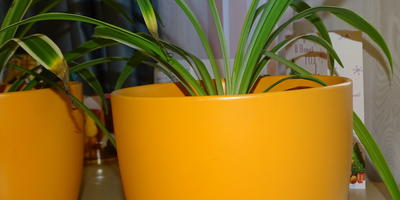 Выращивание хлорофитумов