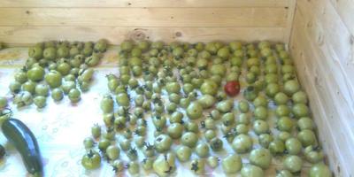 Урожай (помидоры)