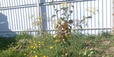 Почему высохли и опали листья в средней части ствола яблони?