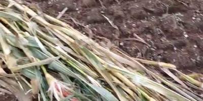 Кукуруза с поля