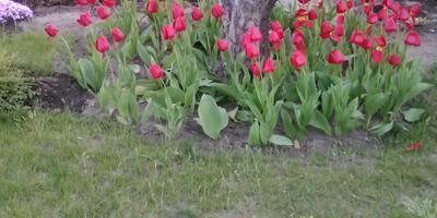 Какими неприхотливыми растениями можно засадить приствольные круги?