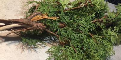 Помогите определить заболевание туи. Как спасти растения?