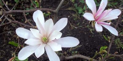 Красавица магнолия – мелодия души. Второй год цветения