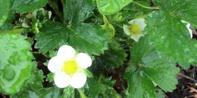 Ананасная ягода Пайнберри (Pineberry). Неубиваемое растение-спрут
