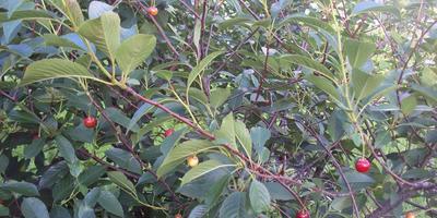 Посоветуйте, пожалуйста, сорт вишни крупноплодной и не кислой?
