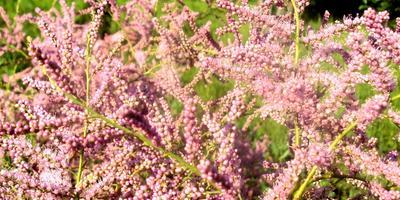 Тамарикс. Розовый жемчуг на даче