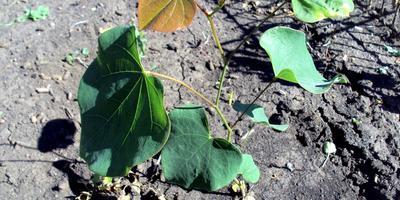 Выращиваем церцис из семян. Летние итоги