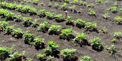 Семь зимостойких сортов земляники. Опыт выращивания