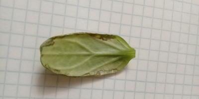 Скажите, что за болезнь на листе рассады огурца и как вылечить
