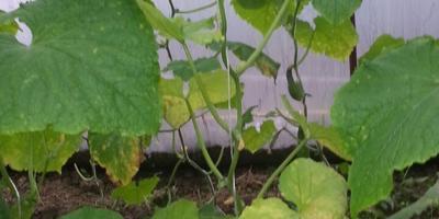 Это болезнь на листьях огурца?