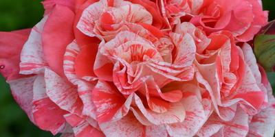 Знакомимся с Татьяной Максимовской и ее коллекцией роз