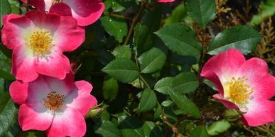 О моей коллекции роз