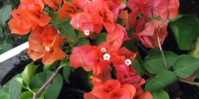 Бугенвиллея – южноамериканская красавица