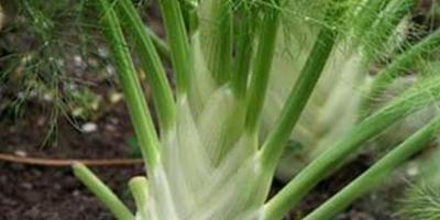 Как правильно выращивать овощной кочанный фенхель?