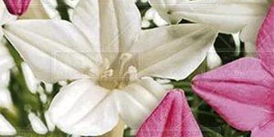 Можно ли вырастить на балконе цветы ипомеи и льна?