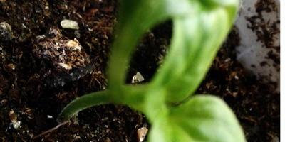 Почему у перца сросшиеся семядольные листочки?