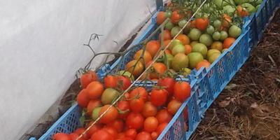 Домашнее задание №10: выращиваю помидоры второй год