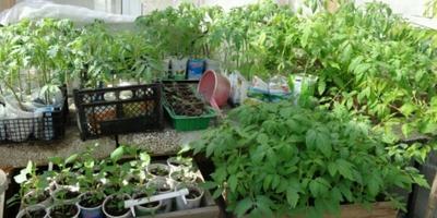 Домашнее задание №10: томатов выращиваю много