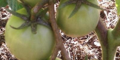 Домашнее задание №14: высаживаем рассаду в теплицы и в открытый грунт