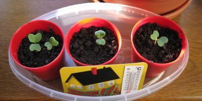 Домашнее задание №11: как вырастить рассаду капусты?