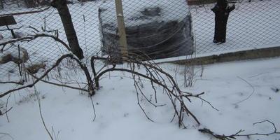 Подскажите, когда весной обрезать виноград?