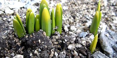 Весна, взошли луковичные в саду. Спасаю деревья