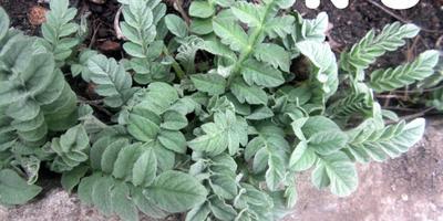 Помогите определить растение по фото
