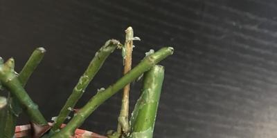 Как сохранить до посадки в грунт розу, купленную вчера? Почки начинают расти
