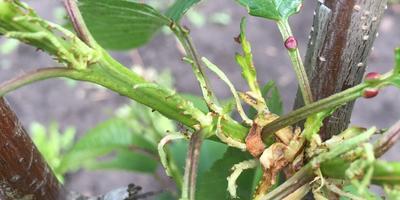 Помогите определить названия растений. Что это на саженце черешни?