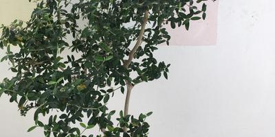 Подскажите название комнатного дерева