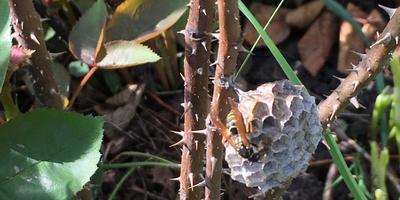 Кто знает, что делают эти осы?