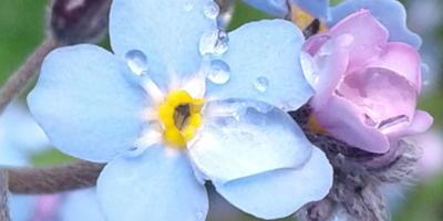 """Незабудка """"Синяя корзинка"""" - маленький кусочек неба на земле. Или про любовь с первого взгляда"""