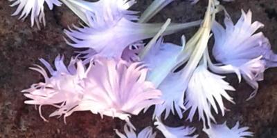 Цветы из розовой сказки - гвоздика многолетняя