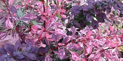 """Праздничный фейерверк моего сада. Знакомьтесь, это Барбарис Тунберга """"Rose Glow"""""""