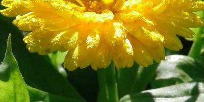 """Календула """"Императрица"""" в саду - солнце и здоровье в семье"""