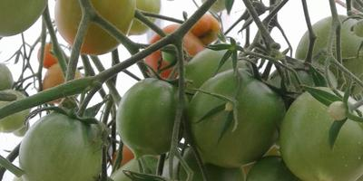 """Зреют помидоры в теплице """"Сибирский агроном"""""""
