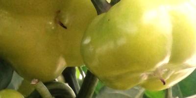 """Сладкий перец """"Солнышко"""" - самый вкусный из желтоплодных перцев!"""