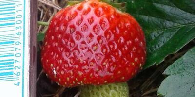 Подарите себе карамельное настроение с гибридом крупноплодной земляники 'Карамельки'