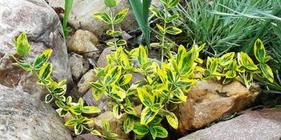 Бересклет 'Emerald in Gold' - вечнозелёный очаровательный кустарник