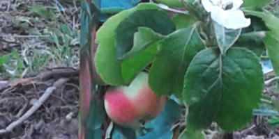 Мои плодово-ягодные новосёлы 2017
