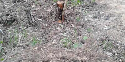 Не копать, не корчевать, а капустой засажать. Или о том, как я сделала грядку на пеньках